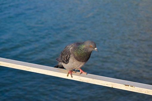 Pigeon, Bird, Animal, Rock Dove, Rock Pigeon