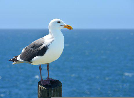 Seagull, Gull, Bird, Seabird, Water Bid, Perched, Beak