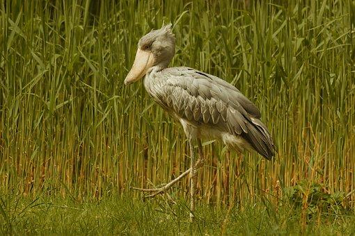 Shoebill, Bird, Animal, Whalehead, Walkorch, Exotic