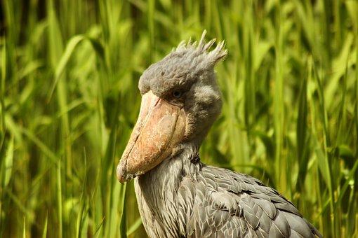 Shoebill, Bird, Animal, Whalehead, Whale-headed Stork