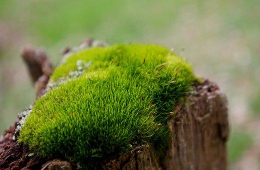Moss, Stump, Forest, Pincushion Moss, Leucobryum Moss