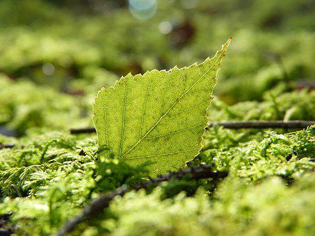 Leaf, Birch, Moss, Tree, Forest, Shining, Nature