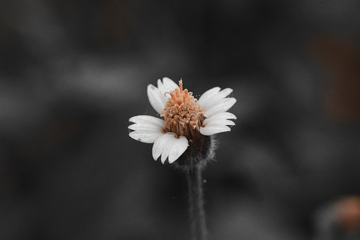 Tridax Daisy, Flower, Weed, Coatbuttons, Wildflower