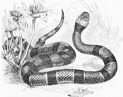 Coral Snake, Reptile, Serpent, Venomous, Wildlife