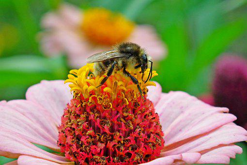 Bee, Flower, Zinnia, Bumblebee, Insect, Pollination