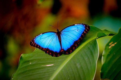 Blue Morpho, Butterfly, Insect, Common Morpho, Animal