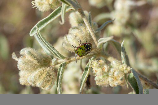 Stink Bug, Bug, Insect, Animal, Wildlife, Flowers