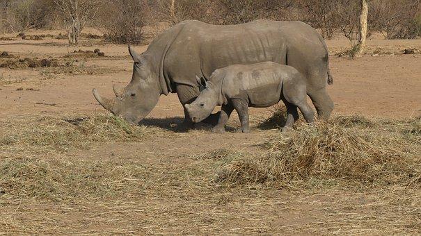 Rhinos, Animals, Savanna, Baby Rhino, Young Rhino, Calf
