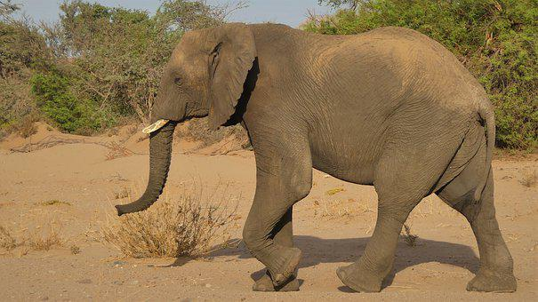 Elephant, Animal, Savanna, Desert Elephant, Mammal