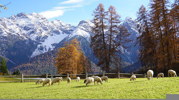 Sheep, Lamb, Cattle, Fence, Pasture, Field, Mountains