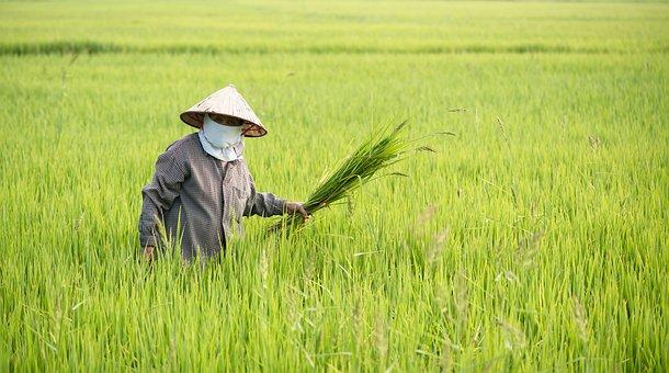 Rice Field, Farmer, Harvesting, Farm Work, Farm Worker