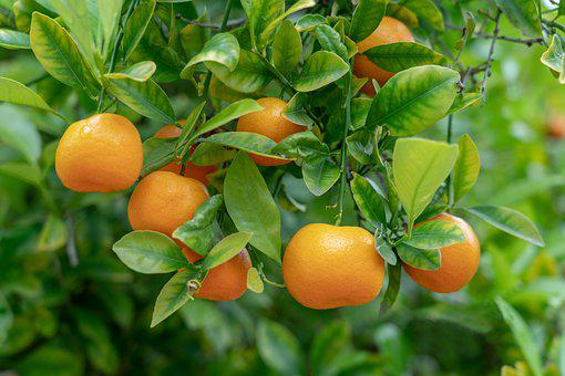Orange, Fruit, Tree, Citrus, Food, Healthy, Nutrition