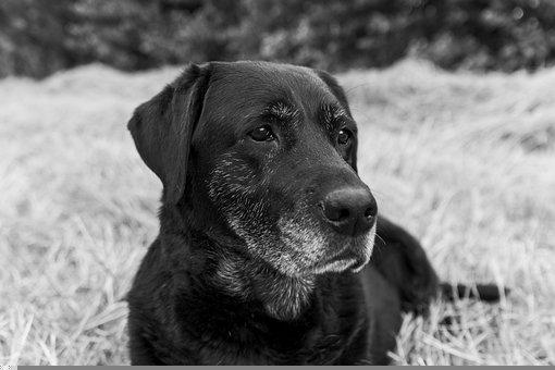 Labrador, Dog, Old, Old Dog, Pet, Animal, Portrait