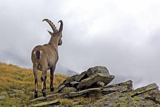 Ibex, Capra Ibex, Male, Animal, Wild, Mountain, Alps