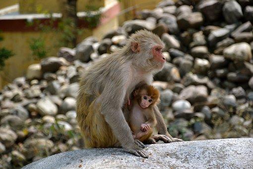 Monkeys, Animals, Wildlife, Baby Monkey, Young Monkey