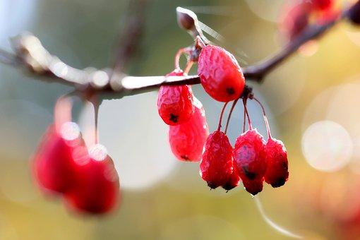Cornus, Cornus Fruit, Corni, Fruit, Wood, Plants