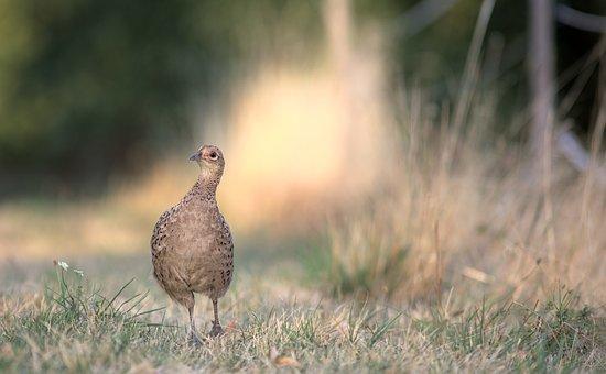 Bird, Pheasant, Feathers, Plumage, Animal, Nature