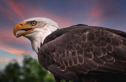 Bald Eagle, Bird, Raptor, Bird Of Prey