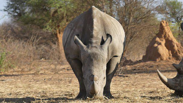 Rhino, Animal, Savanna, Rhinoceros, Mammal, Wild Animal