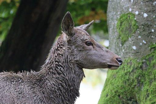 Roe Deer, Red Deer, Fawn, Mammal, Fallow Deer, Wild