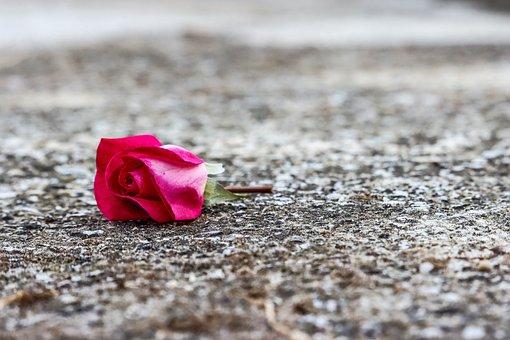 Rose, Flower, Petals, Ground, Asphalt, Fallen, Soil