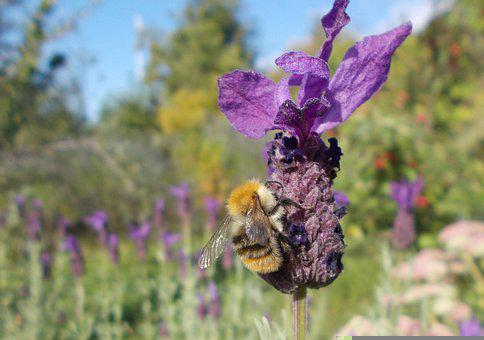 Bee, Insect, Lavender, Bumblebee, Spanish Lavender