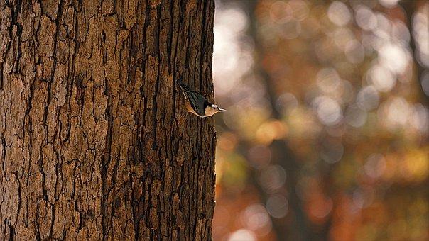 Bark, Tree, Bird, Eurasian Nuthatch, Wood Nuthatch