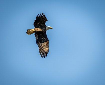 Bald Eagle, Bird, Flying, Flight, Soaring, Freedom