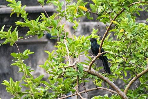 Black Cuckoo, Bird, Tree, Cuckoo, Animal, Wildlife