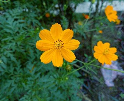 Cosmos, Flowers, Bloom, Blossom, Orange Flowers