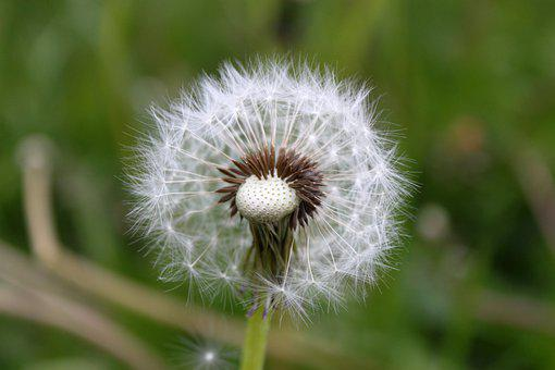 Dandelion, Seed Head, Plant, Blowball