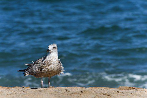 Seagull, Bird, Animal, Gull, Seabird, Wildlife, Coast