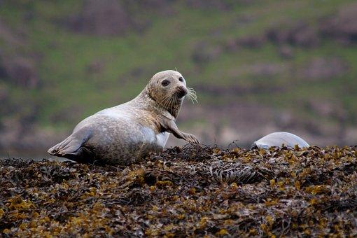 Harbor Seal, Animal, Wildlife, Common Seal, Mammal