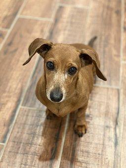 Dog, Dachshund, Canine, Brown, Wiener Dog, Puppy, Pet