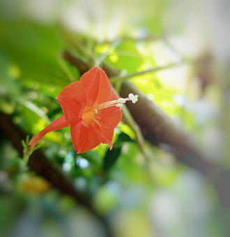 Red Morning Glory, Flower, Plant, Redstar