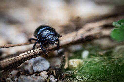 Dor Beetle, Beetle, Insect, Geotrupes Stercorarius