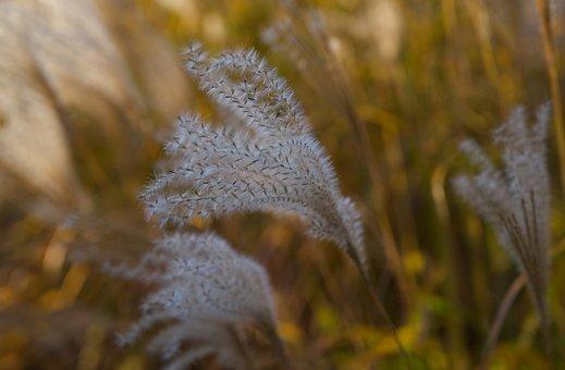 Grass, Fluffy, Plant, Gold, Bamboo, Nature, Garden