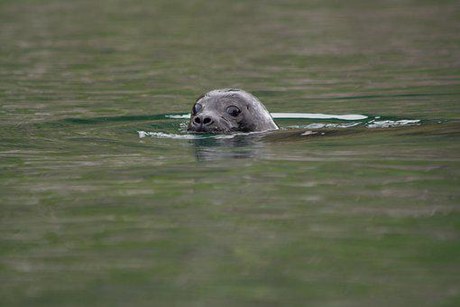 Harbor Seal, Animal, Bay, Common Seal, Mammal