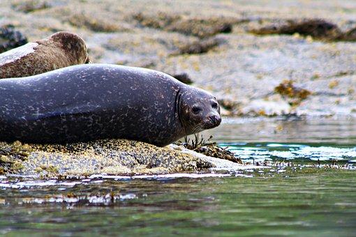 Seal, Common Seal, Coast, Harbour, Mammal, Creature