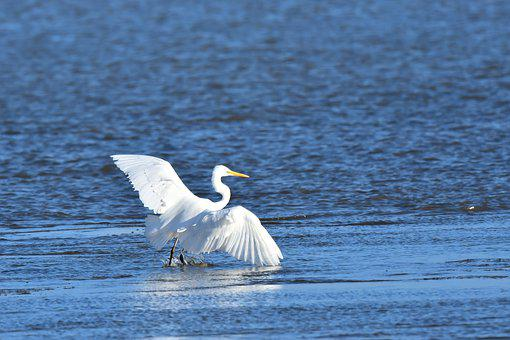 Egret, Bird, Sea, Great Egret, Large Egret