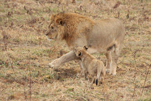 Leo, Young Lion, King, Panthera Leo, Young, Wild Cat
