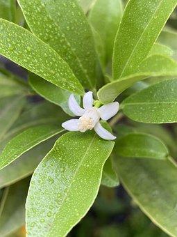 Flower, Petals, Leaves, Foliage, Dew, Raindrops, Lemon