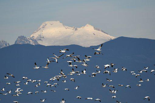 Geese, Flock, Mountain, Snow, Mount Becker, Fir Island