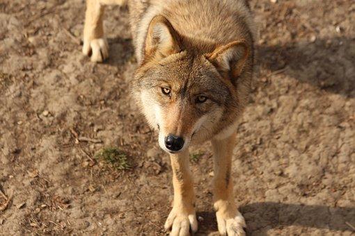 Wolf, Animal, Wildlife, Canis Lupus, Gray Wolf, Mammal
