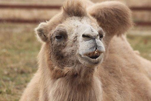 Camel, Bactrian Camel, Animal, Mongolian Camel