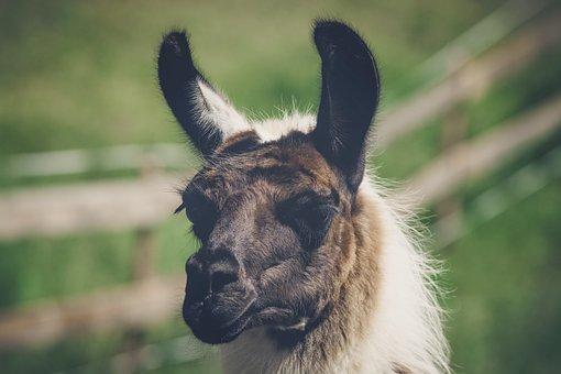 Llama, Animal, Livestock, Mammal, Portrait