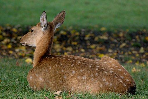 Roe Deer, Animal, Wildlife, European Roe Deer