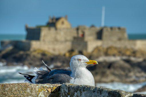 Seagull, Bird, Rocks, Perched, Avian, Sea, Saint Malo