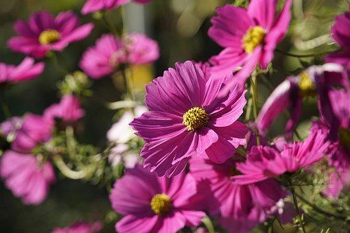 Cosmos, Flower, Plant, Cosmea, Garden Cosmos, Bloom
