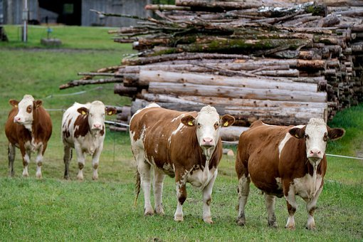 Cow, Cattle, Livestock, Dairy Cow, Dairy Cattle